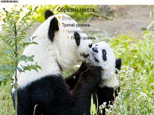 Панда принадлежит к числу самых редких, слабо изученных крупных зверей, чему