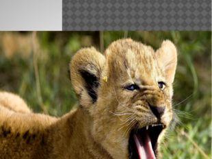 Малыш льва