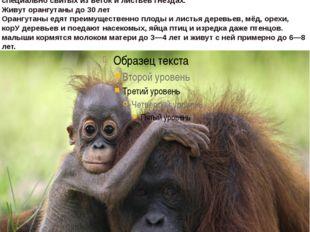 """орангутан,что на малайском означает """"лесной человек"""".водится в тропических"""