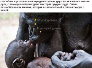Матери нянчат своих детенышей в среднем 3-4 года;Новорожденные гориллы целик