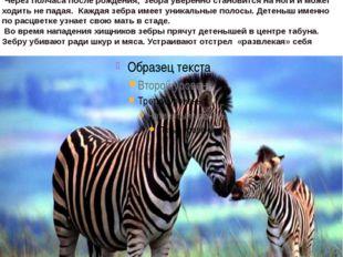 Зебра это породалошади, также бывают зебрулы и зеброиды. Они распространены