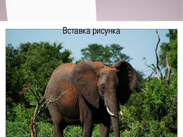 Африканский Слон численность 600 тысяч особей Численность 26 тысяч особей