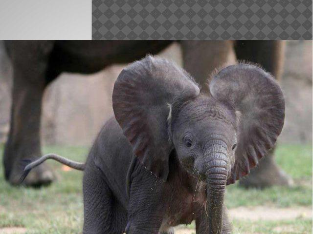 Малыш слона