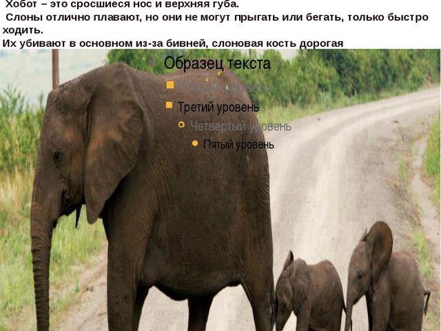 В настоящее время на Земле живёт только три вида слонов: саванновый африканск...