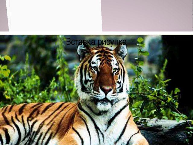 Амурский Тигр численность около 4 тысяч особей Численность более 500