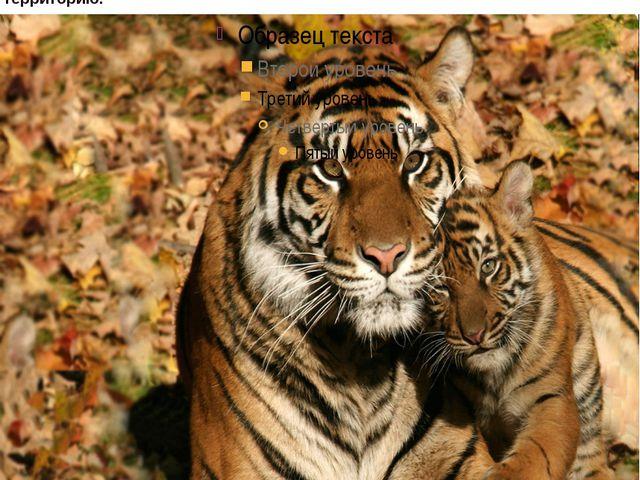 В отличие от большинства видов кошек, тигры прекрасно чувствуют себя в воде....