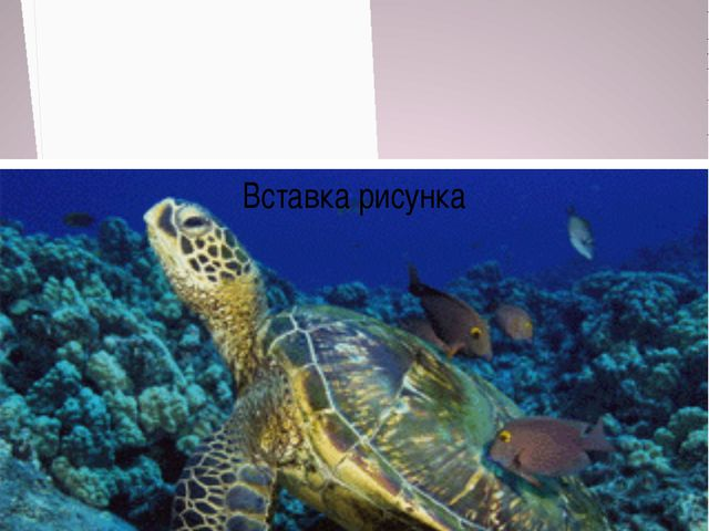 Морская черепаха численность около 30 тысяч особей Численность около 1500 осо...