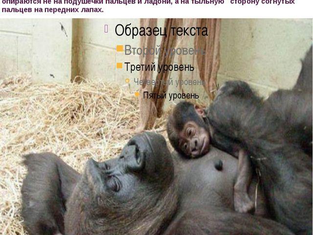 гориллы обитают в африканских тропических лесах, Развитой мускулатуре и сил...