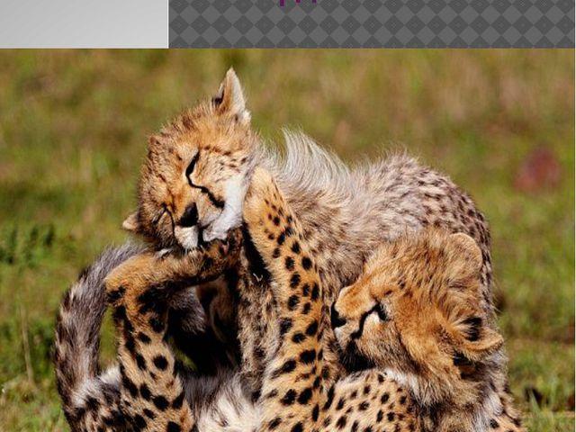 Малыши гепарда
