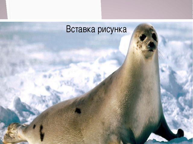 Морской котик численность около 200 тысяч особей Численность 60тысяч особей