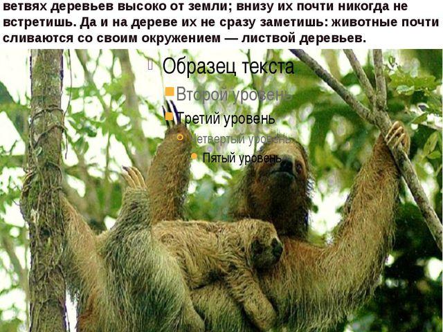 Свое имя ленивцы получили за очень неторопливые движения, напоминающие заме...