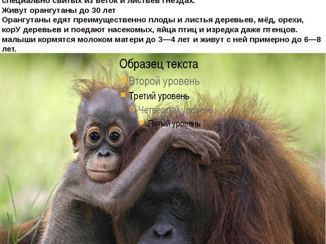 """орангутан,что на малайском означает """"лесной человек"""".водится в тропических..."""