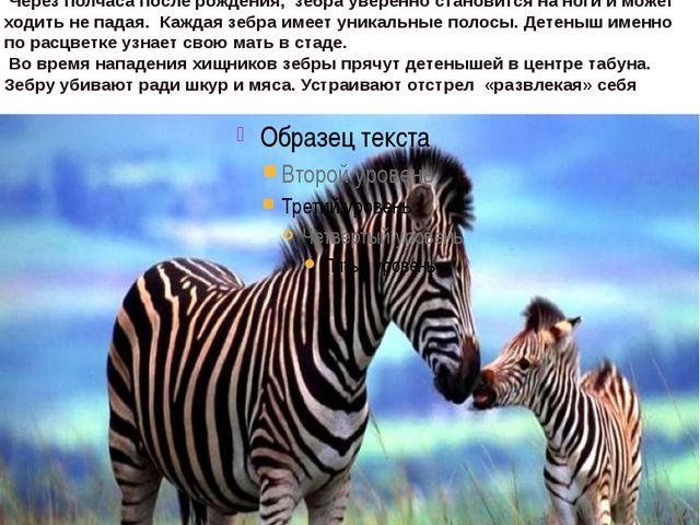 Зебра это породалошади, также бывают зебрулы и зеброиды. Они распространены...