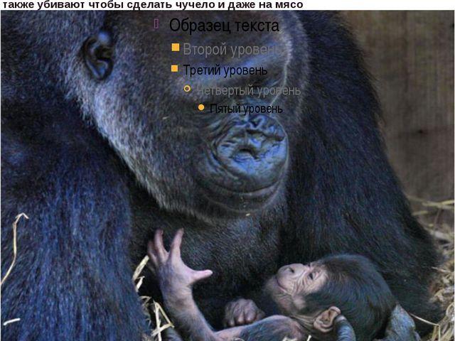 Лицо у горилл черное, словно до блеска начищенное гуталином. Очень выразитель...
