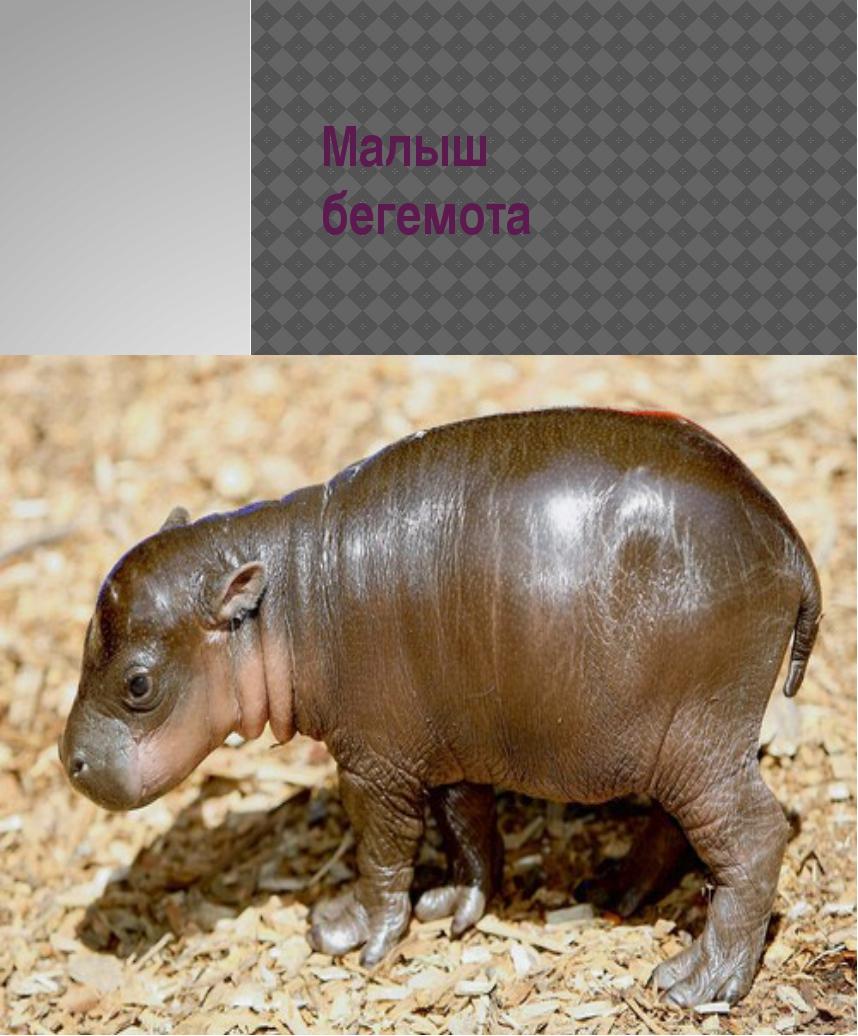 Малыш бегемота