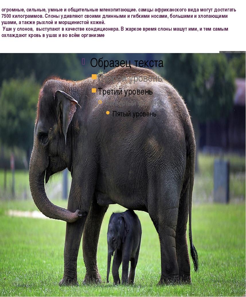 огромные, сильные,умныеи общительные млекопитающие. самцы африканского вид...