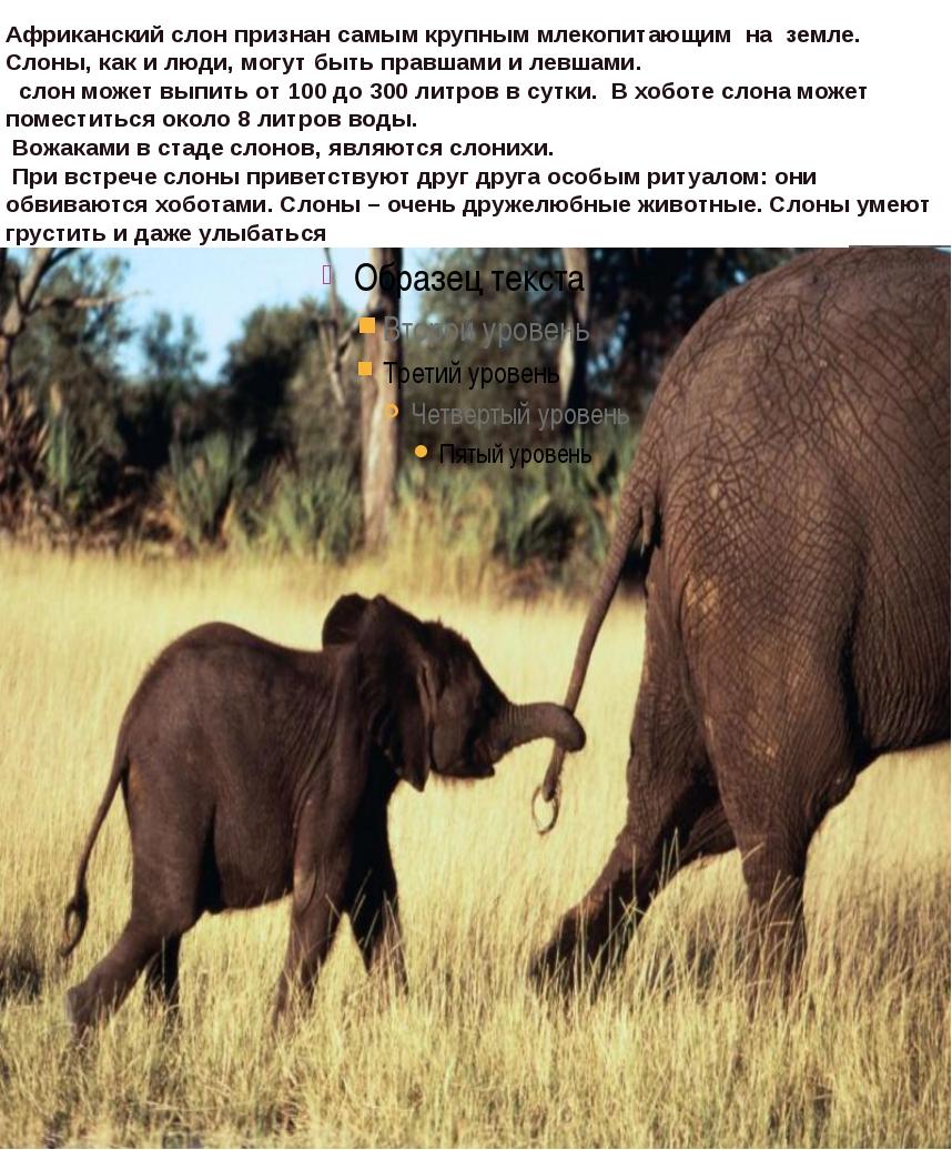 Африканский слон признан самым крупным млекопитающим на земле. Слоны, как и...