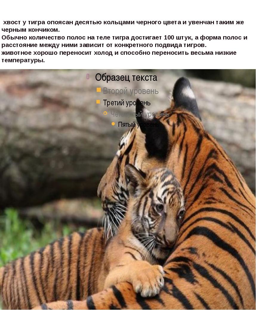 хвост у тигра опоясан десятью кольцами черного цвета и увенчан таким же черн...