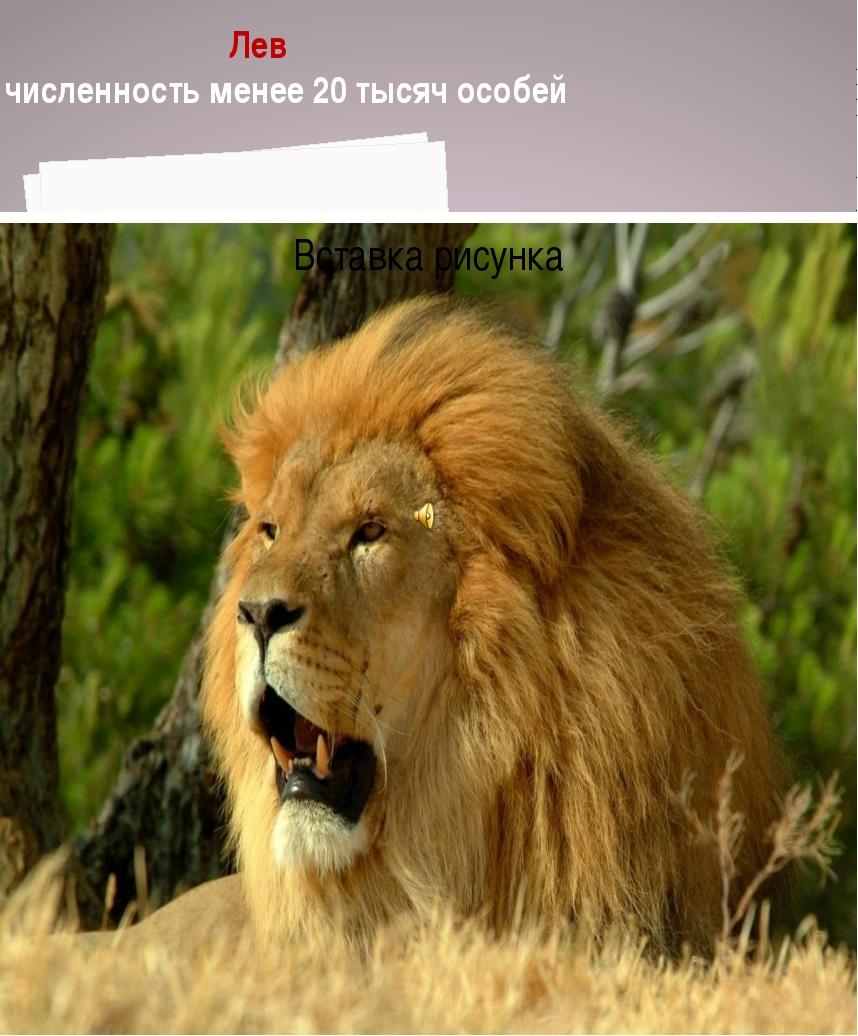 Лев численность менее 20 тысяч особей Менее 40тысяч особей