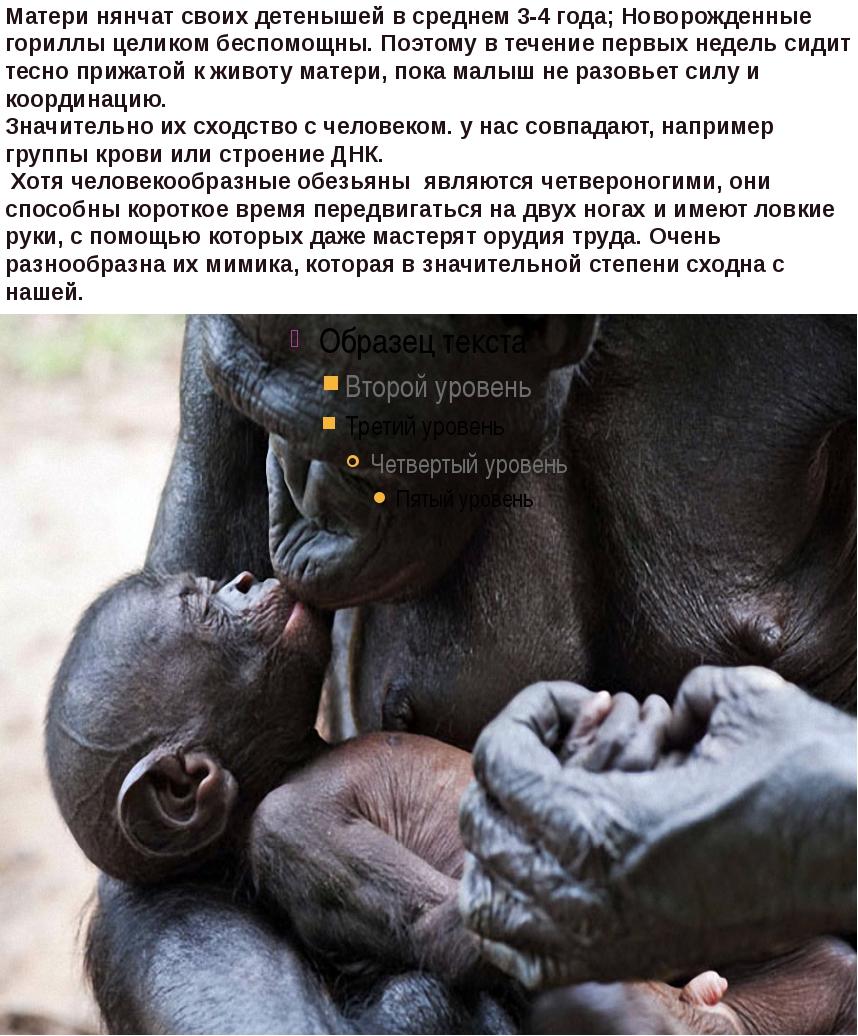 Матери нянчат своих детенышей в среднем 3-4 года;Новорожденные гориллы целик...