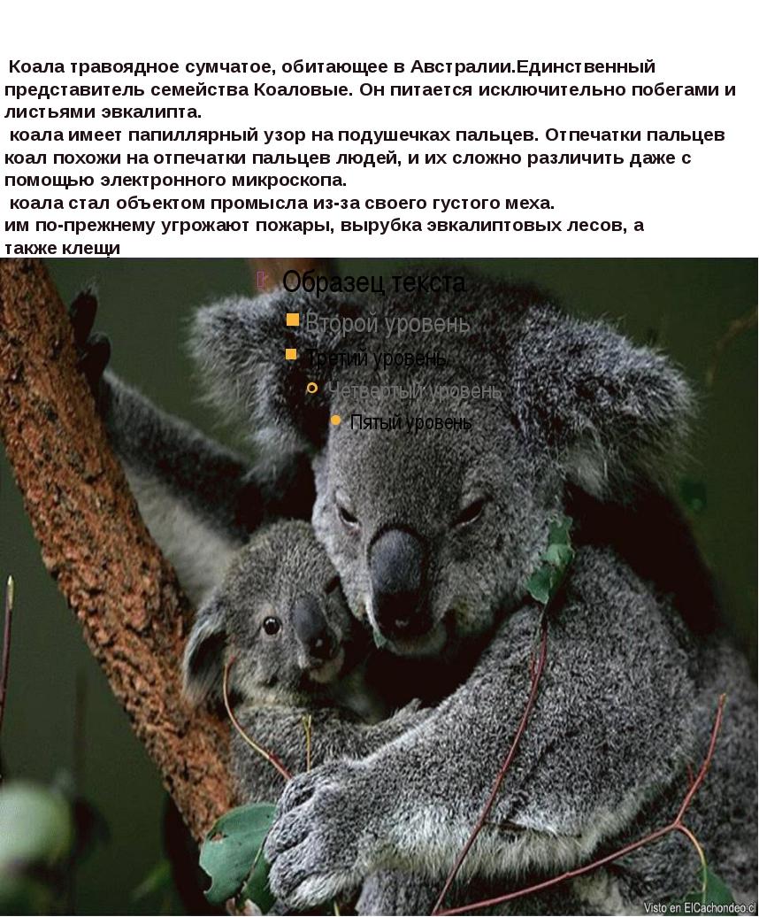 Коала травоядноесумчатое, обитающее вАвстралии.Единственный представитель...