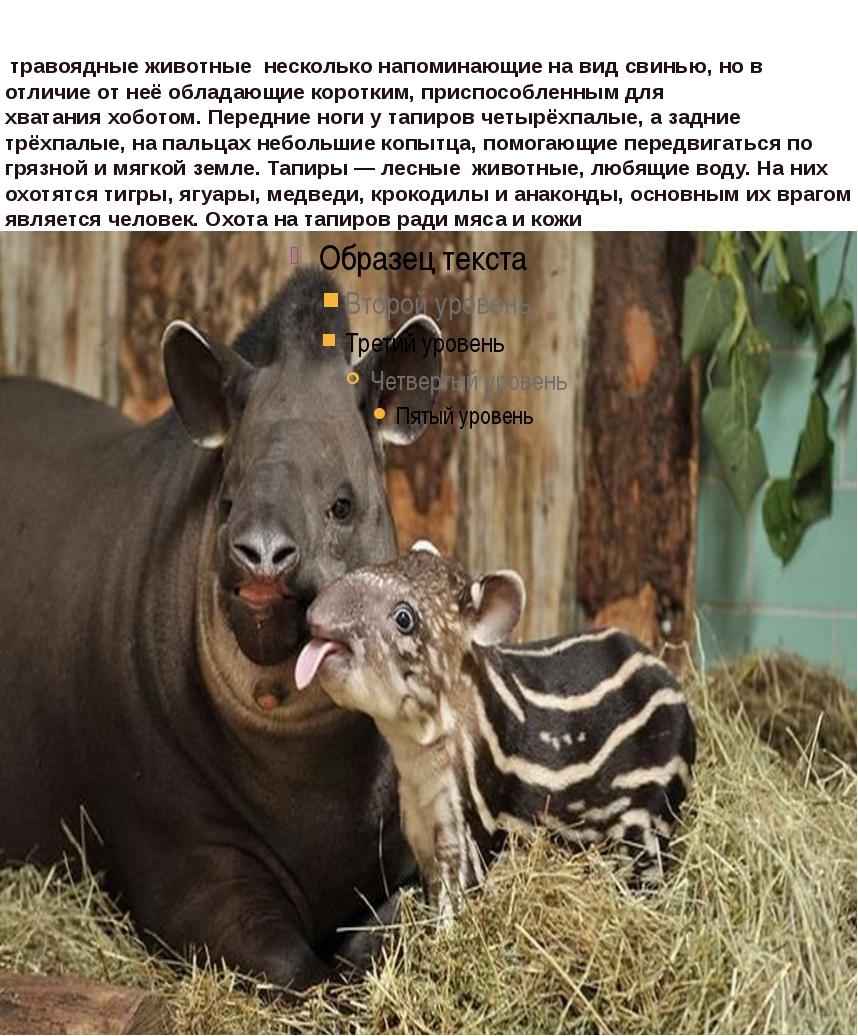 травоядные животные несколько напоминающие на видсвинью, но в отличие от н...