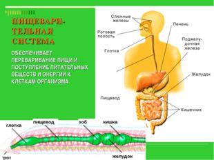 глотка пищевод зоб рот желудок кишка ПИЩЕВАРИ-ТЕЛЬНАЯ СИСТЕМА ОБЕСПЕЧИВАЕТ ПЕ