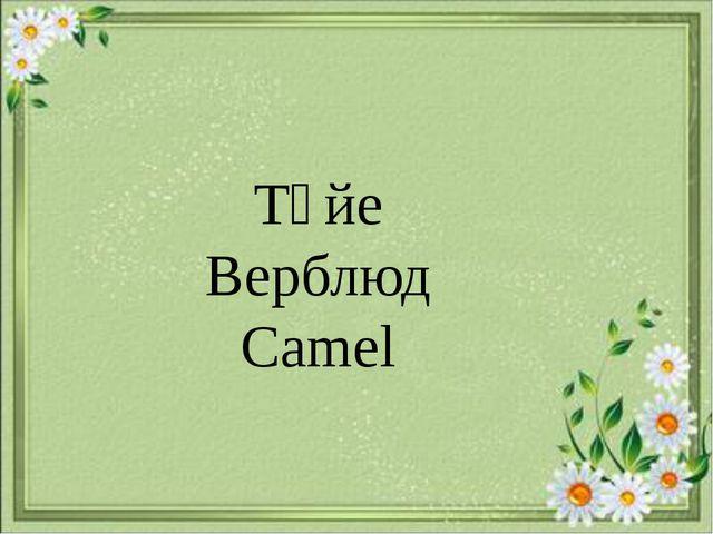 Түйе Верблюд Camel