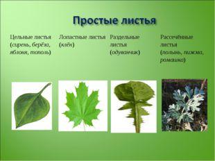 Цельные листья (сирень, берёза, яблоня, тополь)Лопастные листья (клён)Разде