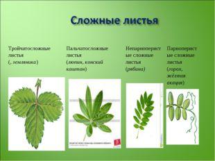Тройчатосложные листья (, земляника)Пальчатосложные листья (люпин, конский к