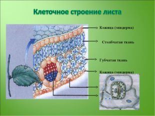 Кожица (эпидерма) Столбчатая ткань Губчатая ткань Кожица (эпидерма) Устьице Ж