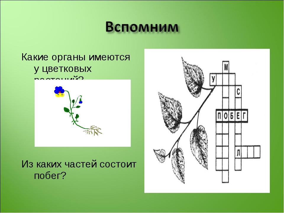 Какие органы имеются у цветковых растений? Из каких частей состоит побег?