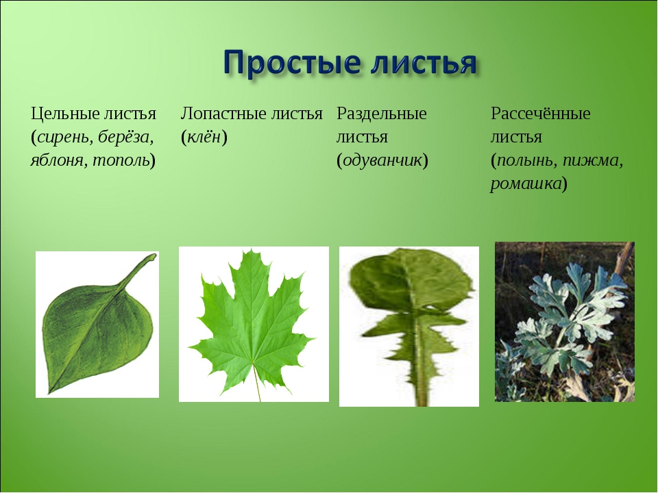 Цельные листья (сирень, берёза, яблоня, тополь)Лопастные листья (клён)Разде...