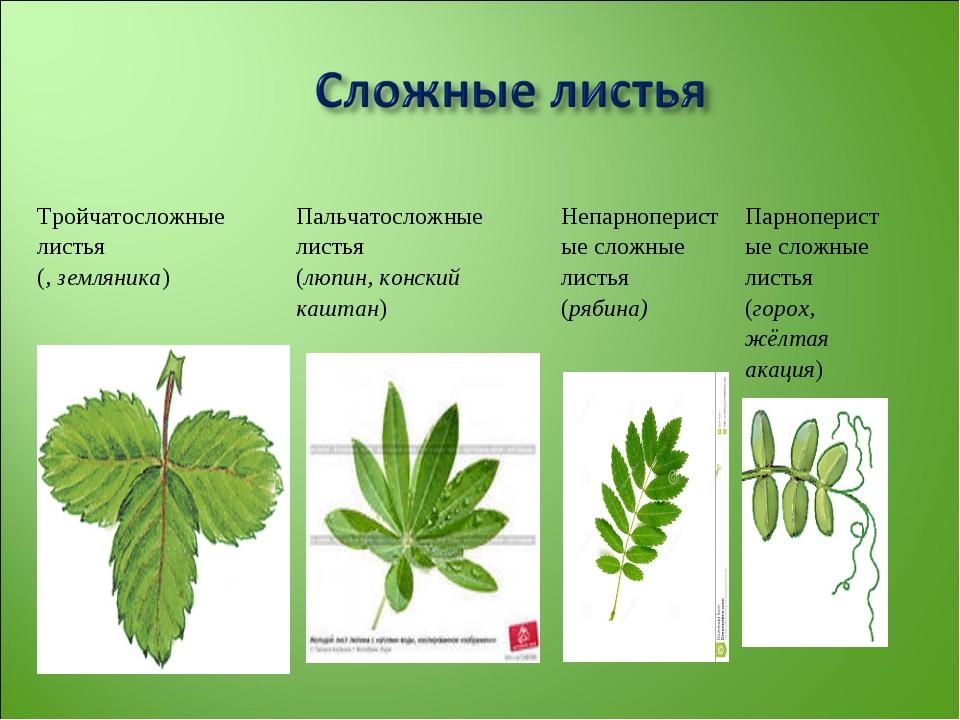 Тройчатосложные листья (, земляника)Пальчатосложные листья (люпин, конский к...