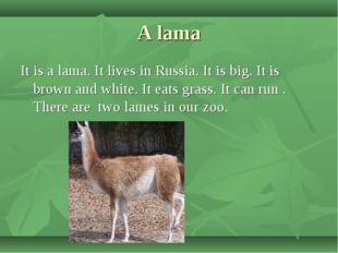 A lama It is a lama. It lives in Russia. It is big. It is brown and white. It