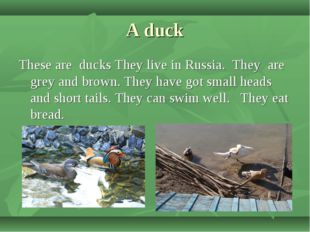 A duck These are ducks They live in Russia. They are grey and brown. They hav