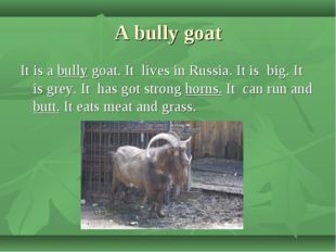 A bully goat It is a bully goat. It lives in Russia. It is big. It is grey. I