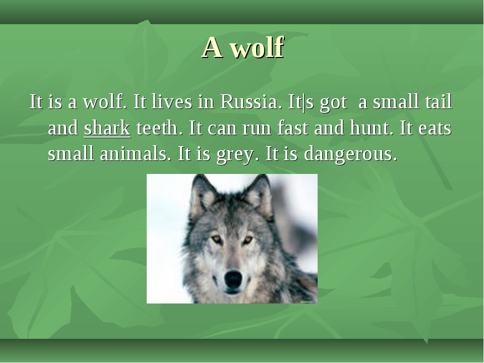A wolf It is a wolf. It lives in Russia. It|s got a small tail and shark teet...