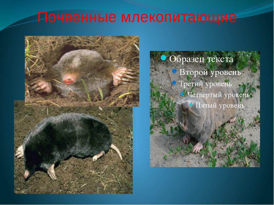 Почвенные млекопитающие
