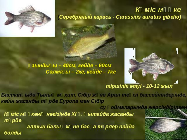 Күміс мөңке (Серебряный карась - Carassius auratus gibelio) Ұзындығы – 40см,...
