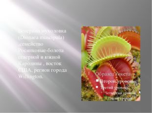 Венерина мухоловка (Dionaea muscipula) ,семейство Росянковые-болота северной