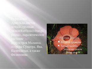 Раффлезия Арнольди,цветок лотоса ,трупная лилия(Rafflesia)«bunga patma», пар