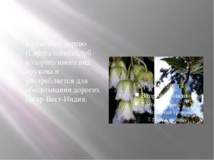 Кружевное дерево (Lagetta linteria),луб которого имеет вид кружева и употреб