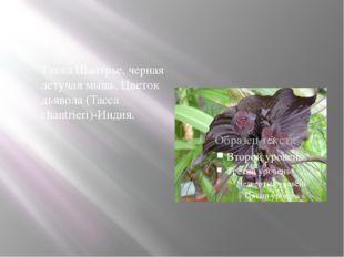 Такка Шантрье, черная летучая мышь, Цветок дьявола (Tacca chantrieri)-Индия.