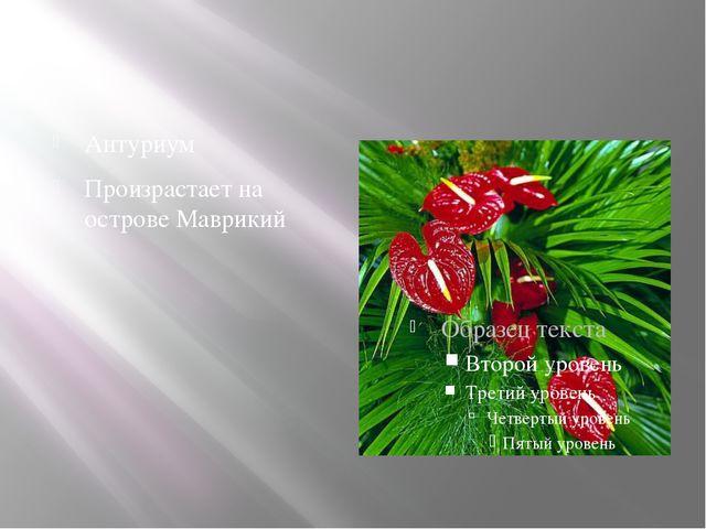 Антуриум Произрастает на острове Маврикий