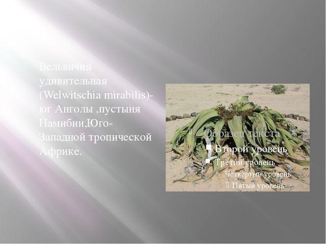 Вельвичия удивительная (Welwitschia mirabilis)-юг Анголы ,пустыня Намибии,Юг...