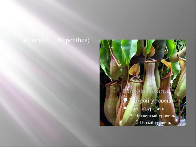 Непентес ( Nepenthes)