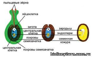 http://biolicey2vrn.ucoz.ru/Jizn_rasten/6-44_Obrazovan_semeni.jpg