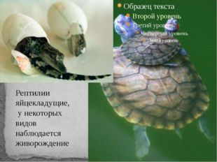 Рептилии яйцекладущие, у некоторых видов наблюдается живорождение
