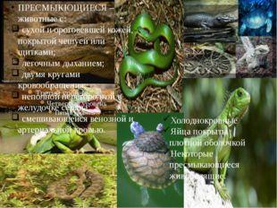 ПРЕСМЫКЮЩИЕСЯ – животные с: сухой и ороговевшей кожей, покрытой чешуей или щ